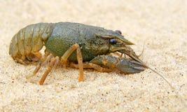 River freshwater crayfish. Royalty Free Stock Photo