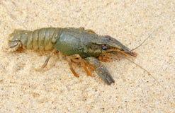 River freshwater crayfish. Stock Photography