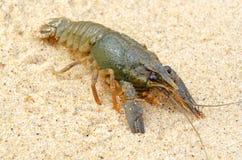 River freshwater crayfish. Stock Photos
