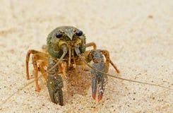 River freshwater crayfish. Royalty Free Stock Photos