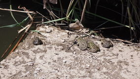 River frog on shore stock video footage