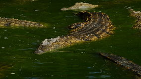 River full of crocodiles. Crocodile or alligator in a river of a natural park or zoo stock footage