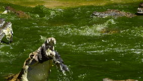 River full of crocodiles eating and fighting. Crocodiles or alligators in a river of a natural park or zoo stock footage