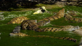 River full of crocodiles eating and fighting in natural park stock video footage