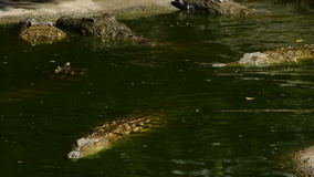 River full of crocodiles swimming in natural park. Crocodile or alligator in a river of a natural park or zoo stock video footage