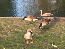 River Geese Stock Photo