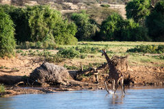 On the river. Giraffe in the wild of africa Royalty Free Stock Photo