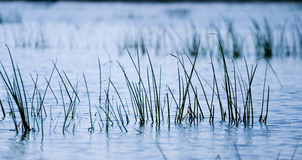 River Grass Royalty Free Stock Photo