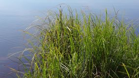 River grass plants in summer sunny day stock footage