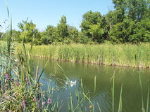 River with green banks. Of wild flowers and reeds background with trees and blue sky Royalty Free Stock Photo