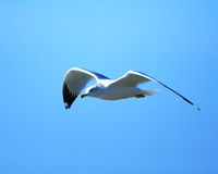 River gull in flight Royalty Free Stock Images