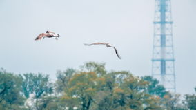 River Gull Flying Above Neva River stock footage