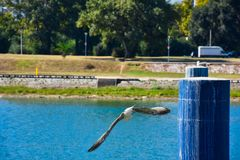 River gull flying royalty free stock photography