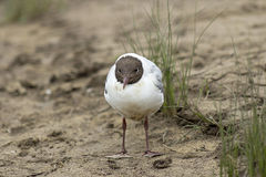 River gull standing on sand closeup Royalty Free Stock Image