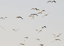 The river gulls flying. In the group and sky royalty free stock photography