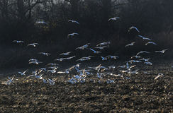The river gulls flying. And searching for food in a field royalty free stock images