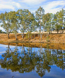 River gum trees reflecting in river. Gum or eucalyptus trees reflecting in the river stock image