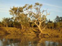 River gums at sunset. Sunset shot of a river gum on the banks of an outback Queensland river Stock Photos