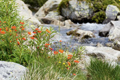 River and high mountain  flowers in Pirin  mountain,Bulgaria Royalty Free Stock Images