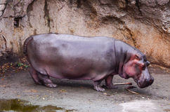 A river Hippopotamus (Hippopotamus amphibius) is out of water Stock Images