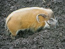 Red river hog 3 Stock Photos
