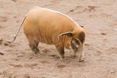 River hogs, Potamochoerus stock images