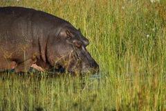 River Horse Okovango Inhabitant II Royalty Free Stock Image