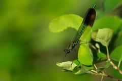 River Jewelwing Damselfly - Calopteryx aequabilis Royalty Free Stock Image