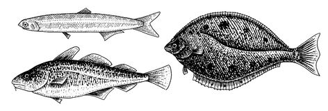 River and lake fish. Atlantic cod, anchovy and halibut. Sea creatures. Freshwater aquarium. Seafood for the menu. Engraved hand drawn in old vintage sketch Royalty Free Stock Image