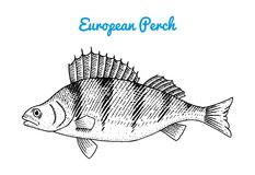 River and lake fish. European perch. Sea creatures. Freshwater aquarium. Seafood for the menu. Engraved hand drawn in. Old vintage sketch. Vector illustration Stock Photography