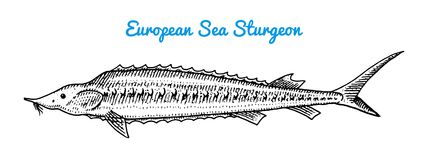 River and lake fish. European sea sturgeon. Sea creatures. Freshwater aquarium. Seafood for the menu. Engraved hand. Drawn in old vintage sketch. Vector Stock Photos