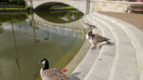 Three geese and an arch Royalty Free Stock Images