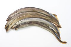 River lamprey on a white background Stock Photography