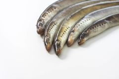 River lamprey on a white background Stock Photo