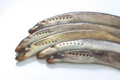 River lamprey on a white background Royalty Free Stock Images