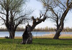 River landscape with driftwood. River landscape snags and trees royalty free stock image