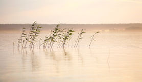 River landscape with reed and mist Royalty Free Stock Photos