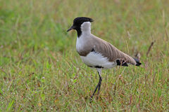River Lapwing Stock Image