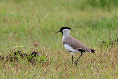 River Lapwing Royalty Free Stock Photos