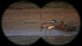 River lapwing vanellus duvaucelii bird seen through binoculars. Bird watching at wildlife safari. Shot with a Sony RX10 IV fps 59,94 FHD stock video footage