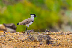 River Lapwing(Vanellus duvaucelii) Royalty Free Stock Images