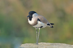 River Lapwing (Vanellus duvaucelii) Royalty Free Stock Photos