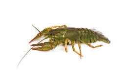 River live crayfish isolated on white background royalty free stock images