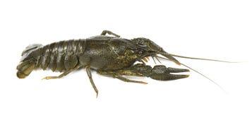 River live crayfish isolated on white background stock photo