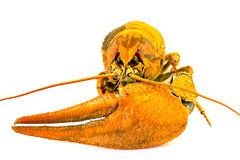 River lobster Royalty Free Stock Photo