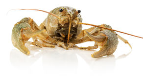 River lobster isolated on the white background Royalty Free Stock Photos