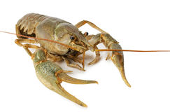 River lobster isolated on a white background Royalty Free Stock Image