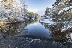 Snow clad trees and River Luineag flowing into Loch Morlich in the Cairngorms National Park of Scotland. River Luineag flowing into Loch Morlich in the Royalty Free Stock Photo