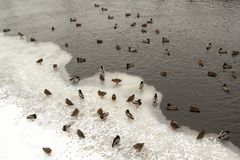 River Mallard duck on the canal. Many river Mallard ducks on ice-free channel in the winter Stock Photography