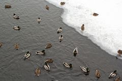 River Mallard duck on the canal. Many river Mallard ducks on ice-free channel in the winter Stock Photo